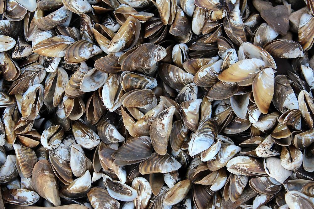 Mussel Shells by Carolyn  Fletcher