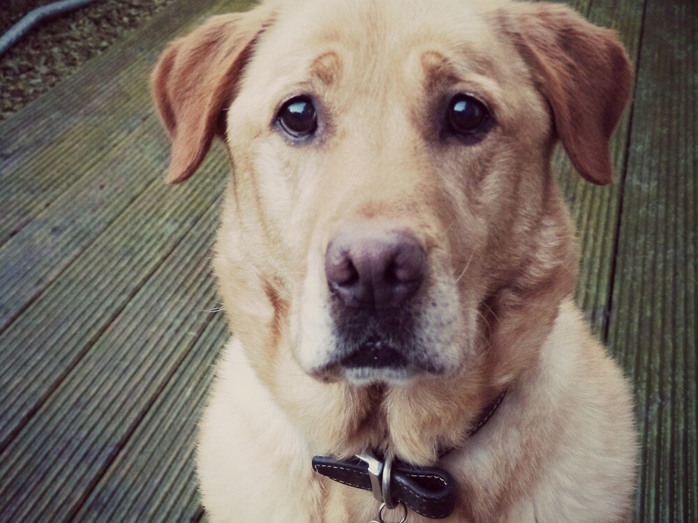 Labrador by colettelydon