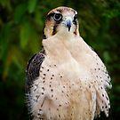 Lanner Falcon? by Nancy Richard