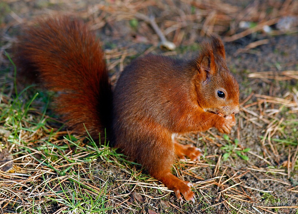 Red Squirrel by Martin Lawrence