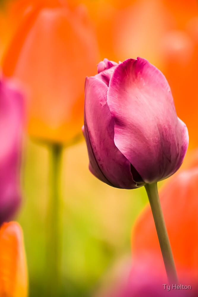 Tulips of Color by Ty Helton