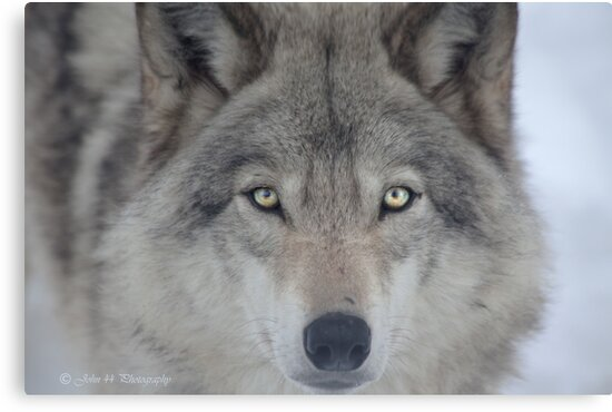 ..a charismatic Wolf... by John44