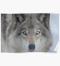 ..a charismatic Wolf... Poster