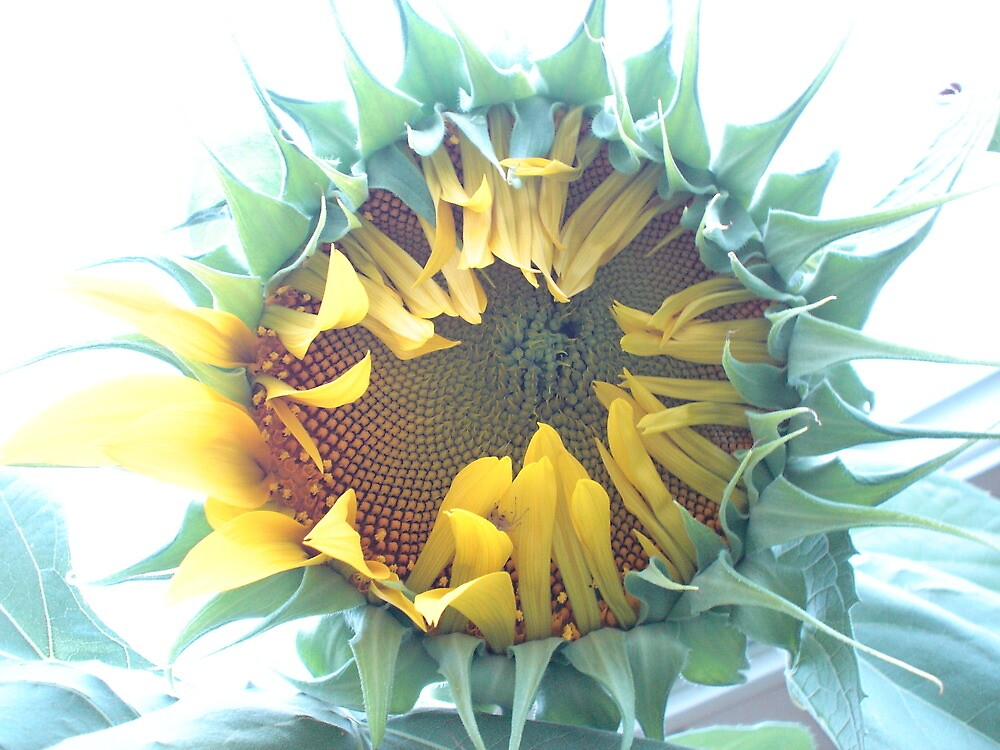 Sunflower #0 by Stephen Oravec
