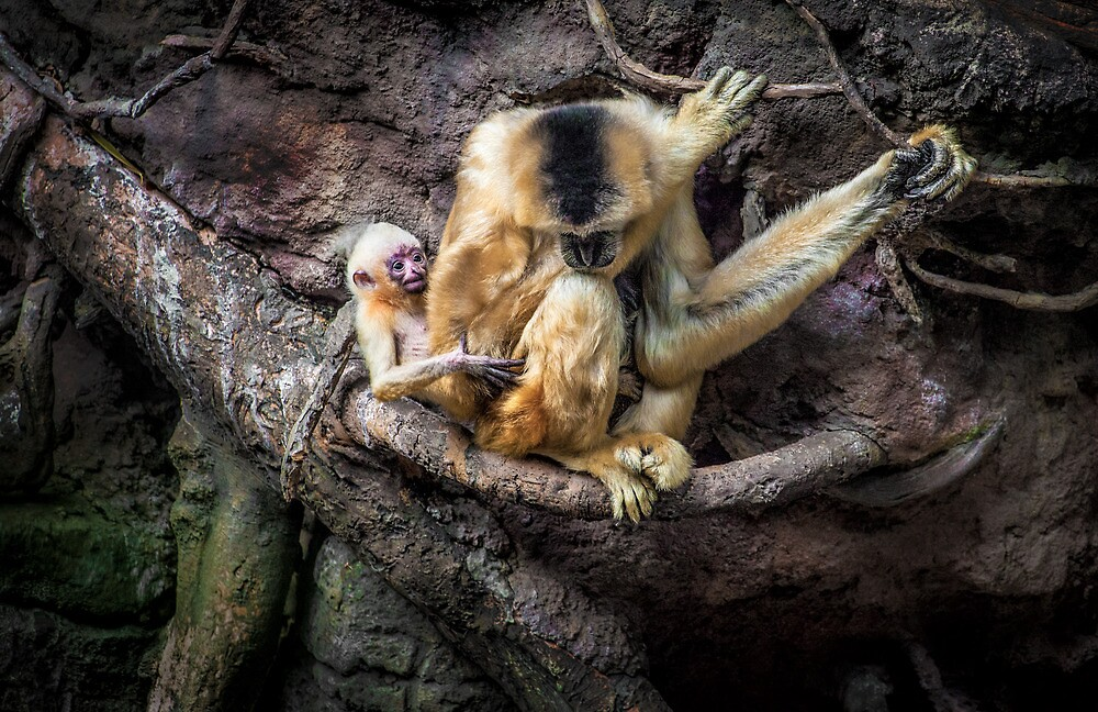 Mother and baby White Cheeked Gibbon by alan shapiro