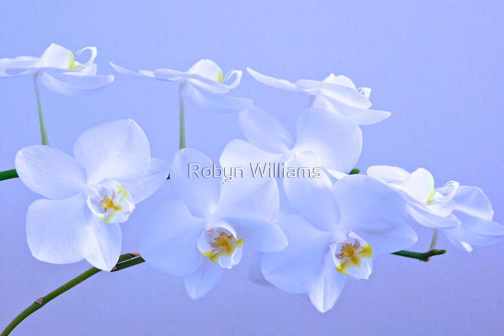 "Day 20 | 365 Day Creative Project  ""White Orchids"" by Robyn Williams"