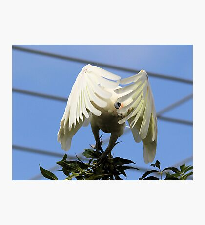 Peeky Boo  Short Billed Corella Photographic Print