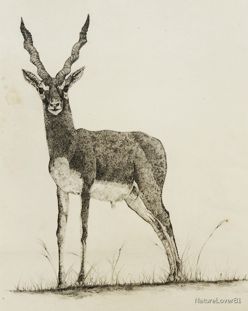 Black Buck  by NatureLover81