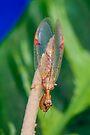 Mantid Lacewing  - Austromantispa imbecilla by Normf
