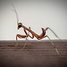 10 minute old Praying Mantid by Normf