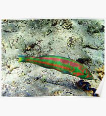 Klunzingers Wrasse Poster