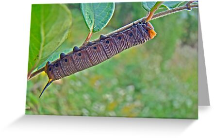 Snowberry Clearwing Hawk Moth Caterpillar - Hemaris diffinis by MotherNature