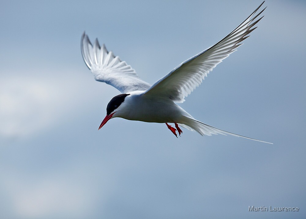 Arctic Tern on Inner Farne by Martin Lawrence