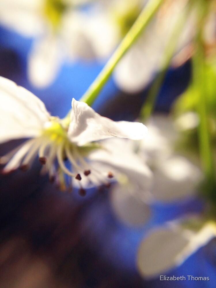 Bradford Pear Bloom 2 by Elizabeth Thomas