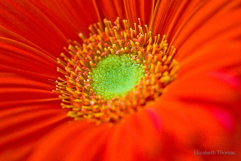 Macro Orange Gerber Daisy Flower by Elizabeth Thomas