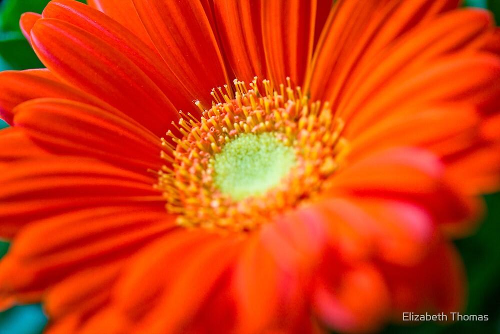 Orange Gerber Daisy Flower by Elizabeth Thomas