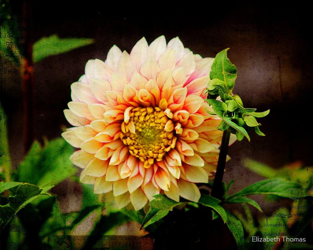 Beige Pink Dahlia by Elizabeth Thomas
