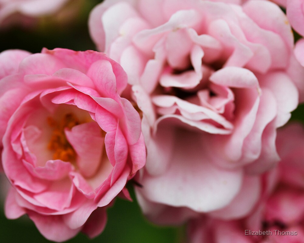 Pink Princess Rose Flowers by Elizabeth Thomas