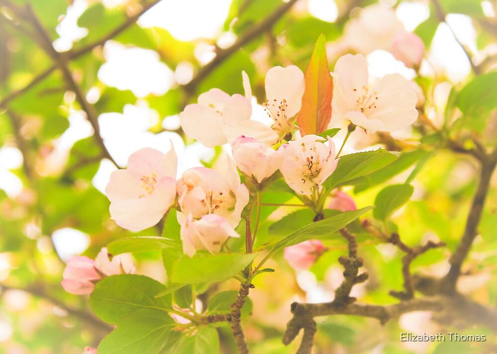 Pink Tree Blossom by Elizabeth Thomas
