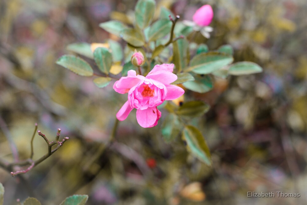 Pink Princess Rose Flower by Elizabeth Thomas