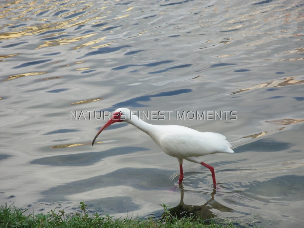 White Ibis by NATURES FINEST MOMENTS