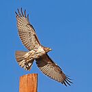 1/18/2013 Red Tailed Hawk by Marvin Collins