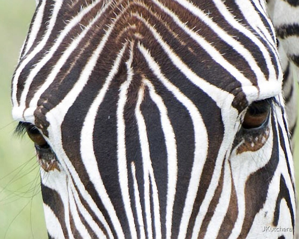 zebra  by JKutchera