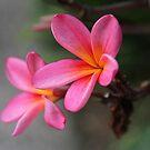 Hot Pink Frangipani by aussiebushstick