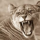 Snarling lioness by lanceallot