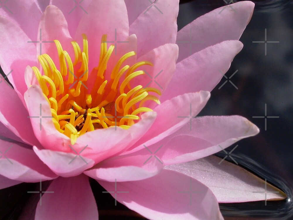pink waterlily by Jicha