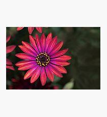 Osteaspermum 'Elite Ruby' Flowers Photographic Print