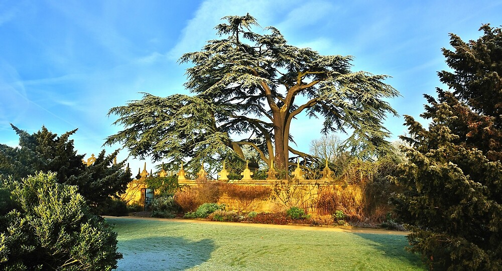 Cedrus Tree by Moments In Time Photography
