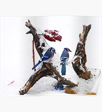 Blue jays in Winter Poster