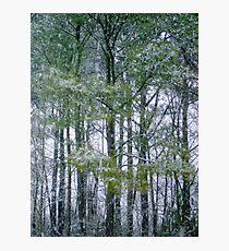 Pine trees Photographic Print