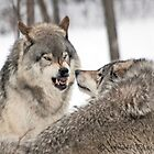 ..about wolves and arguments.. by John44