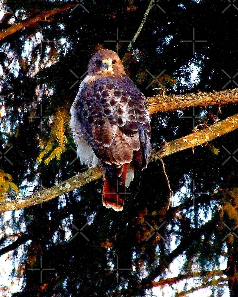 Tuft's Red Tail Hawk l by BavosiPhotoArt