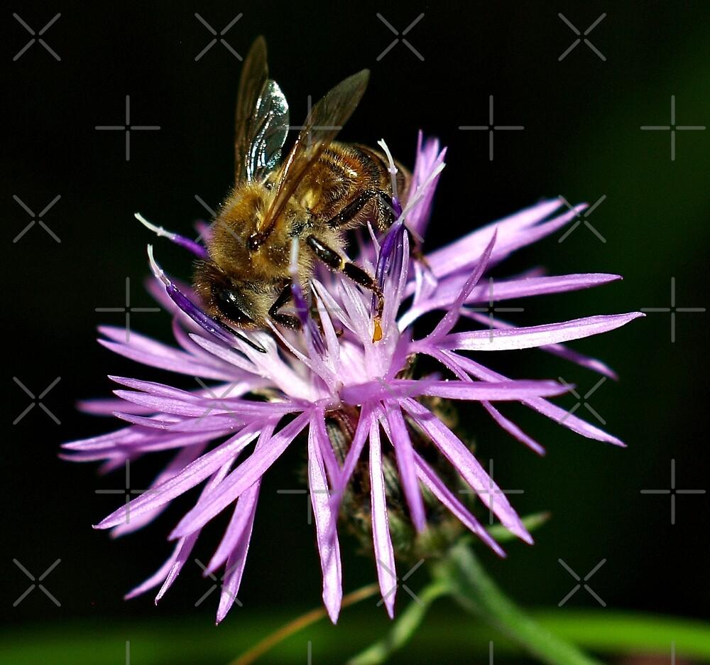 Honey Bee On Flower l by BavosiPhotoArt