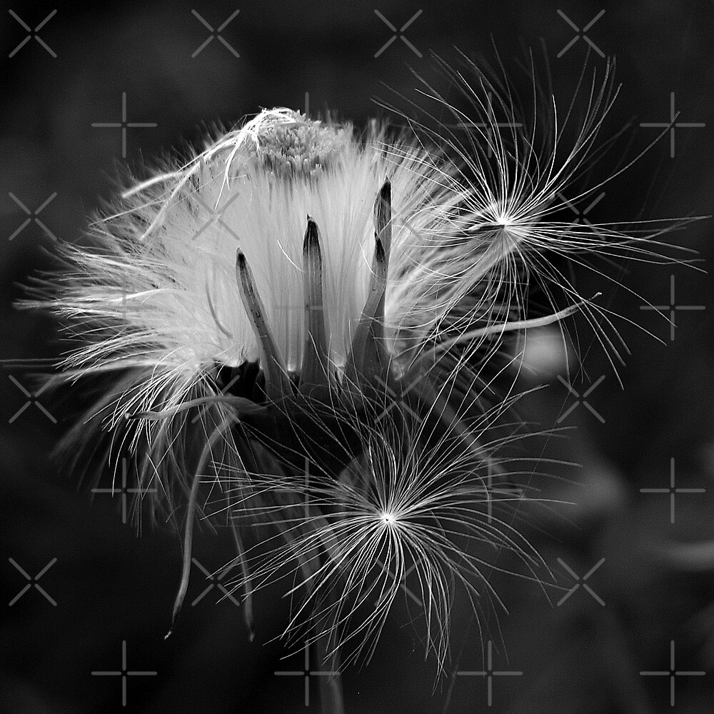 Seed Heads In Black And White ll by BavosiPhotoArt