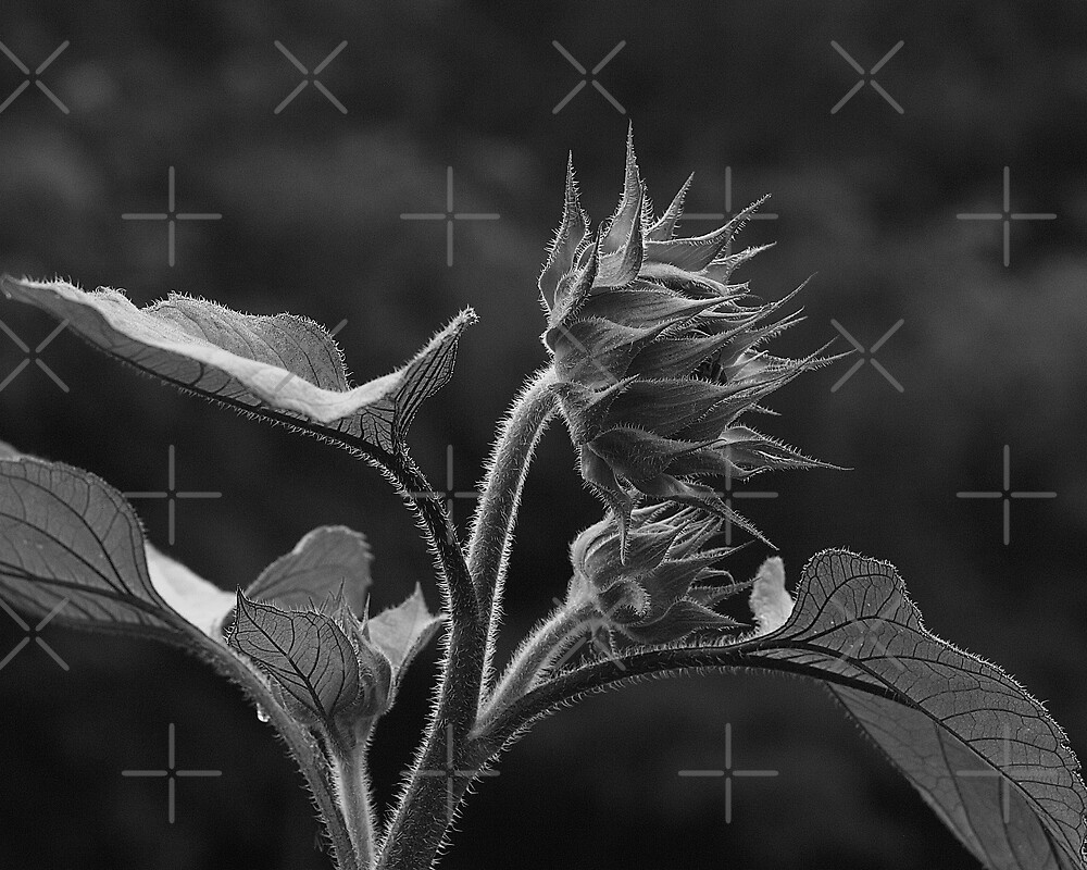 Sun Flower In Black And White by BavosiPhotoArt