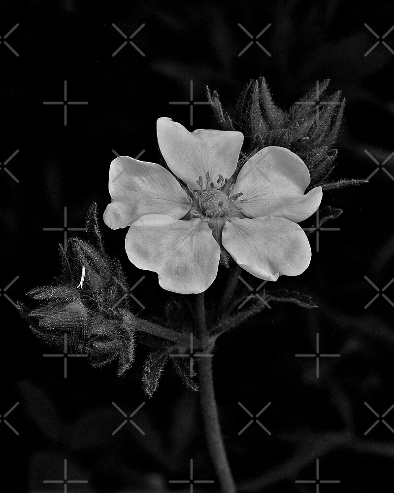 Evening Primrose In Black And White by BavosiPhotoArt