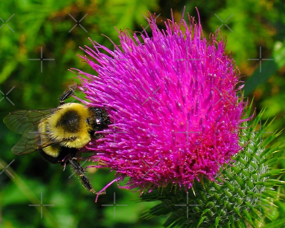 Bumble Bee On Bull Thistle by BavosiPhotoArt