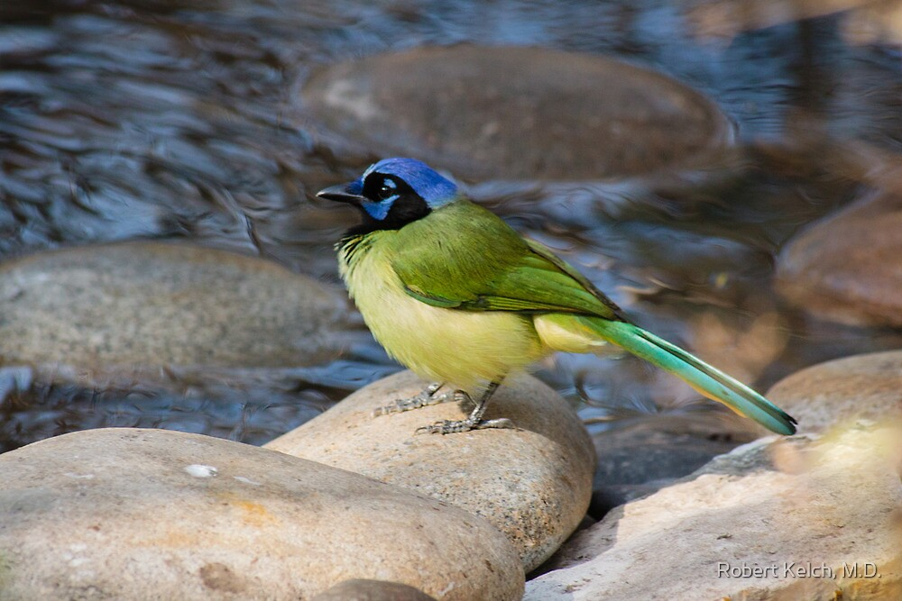 A Green Jay Considers Taking a Bath by Robert Kelch, M.D.