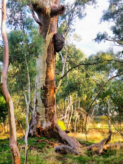 Old Man Gum Tree. by Elaine Game