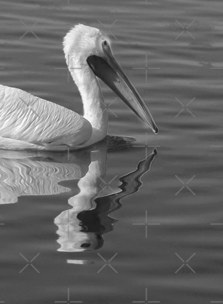 Pelican Reflection by Heather Friedman