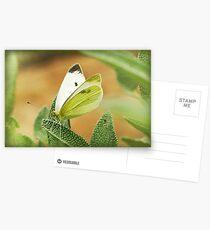 a cabbage moth on a sage leaf Postcards