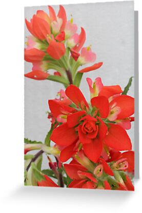 Indian Paint Brush by Paul Sturdivant