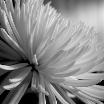 Chrysanthemum In Black And White by busyb