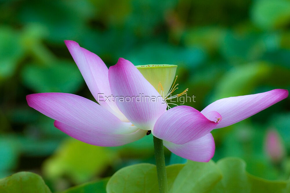 Lotus by Renee Hubbard Fine Art Photography