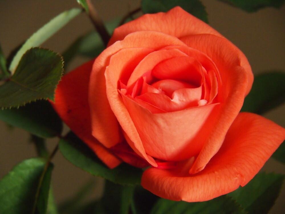 Billie's rose by Julie Foreman