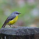 Eastern Yellow Robin by Andrew Durick
